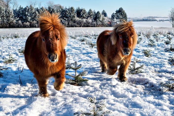 Heste_Sne_Vinter